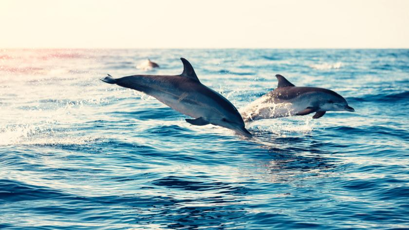 Group of dolphins jumping from the sea (Atlantic Ocean, Madeira Island).