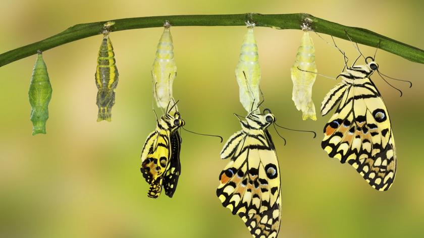 Evolution of butterfly